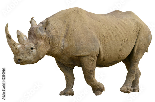 Closeup of Black Rhinoceros (Diceros bicornis) walking