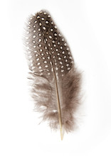 Guinea Fowl Feather On White Background