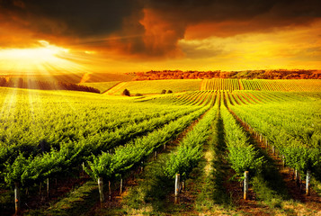 Fototapeta Stunning Vineyard Sunset
