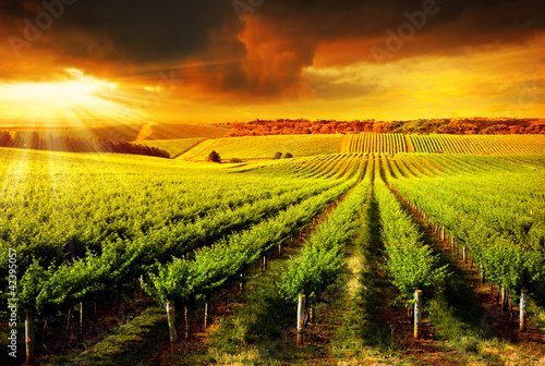 Foto op Canvas Wijngaard Stunning Vineyard Sunset