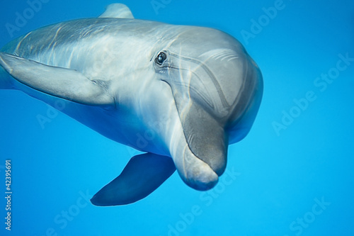 Stickers pour portes Dauphins Dolphin under water