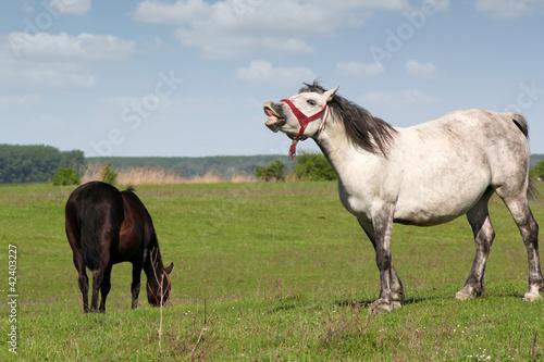 Canvastavla white horse neigh