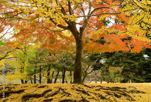 japonski-klonowy-drzewo-w-jesieni