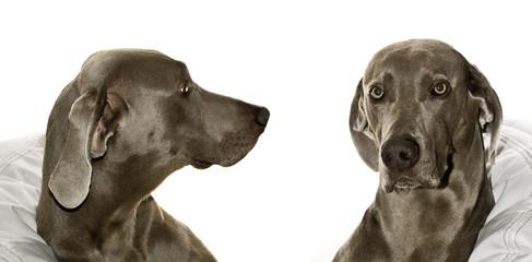 Fototapeta Zwierzęta Wyżeł weimarski krótkowłosy