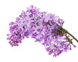 lush lilac flower branch on white