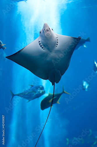 Láminas  Manta ray floating underwater