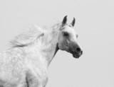 white arabian stallion - 42448606