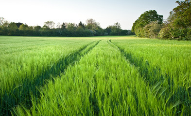 Beautiful field of fresh growth agrucultiral wheat