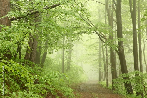 Foto auf Acrylglas Wald im Nebel Forest trail among the beech trees on a foggy May morning