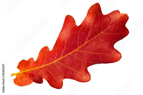 Fotomural  Red autumn leaf oak isolated on white background