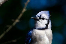 Profile Of A Blue Jay Against A Dark Blue Background