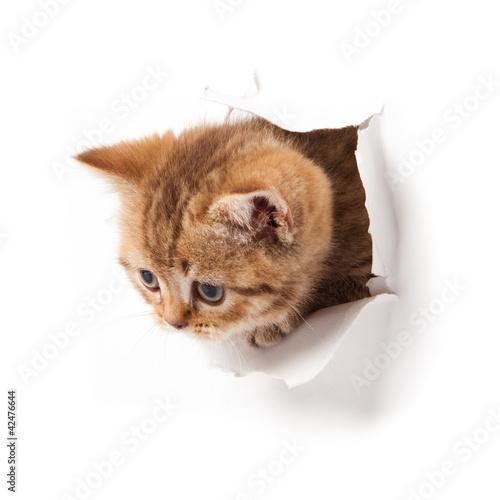 Spoed Foto op Canvas Tijger kitten looking up in paper.