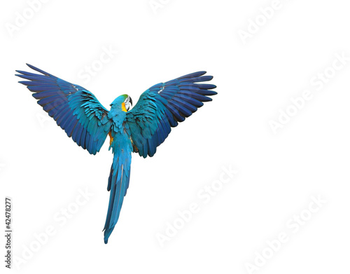 In de dag Papegaai Flying colorful parrot isolated on white
