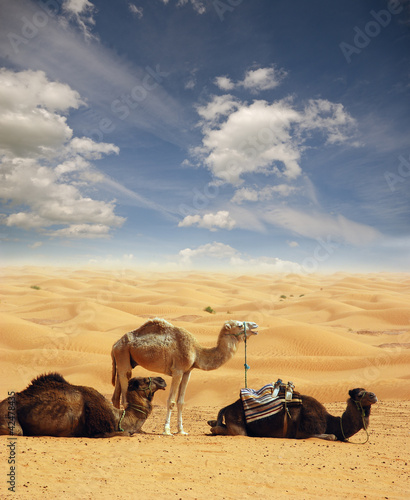 Camels in the Sahara #42478435