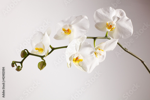 Photo Stands Orchid orchidee, phalaenopsis