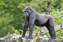 Jeune Gorille De 8 Ans
