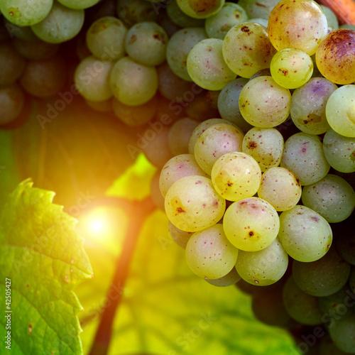 Fotografia, Obraz  Sunny white grape