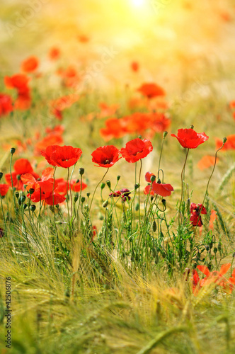 Spoed Foto op Canvas Poppy Red poppies