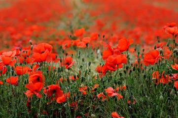 Fototapeta samoprzylepna pole czerwonych maków