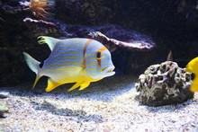 Threadfin Snapper Fish In A Aquarium (Symphorichthys Spilurus)