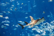 A Large Grey Shark