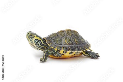 Foto op Canvas Schildpad turtle