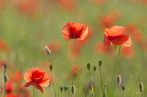 the poppies field