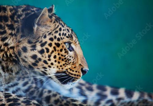 Staande foto Luipaard Leopard