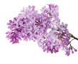 lush lilac flower isolated branch