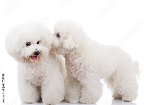 Valokuvatapetti bichon frise puppy dogs playing