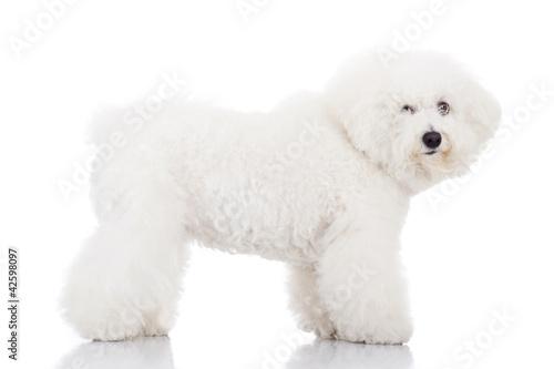 Fotografija beautiful bichon frise puppy dog standing