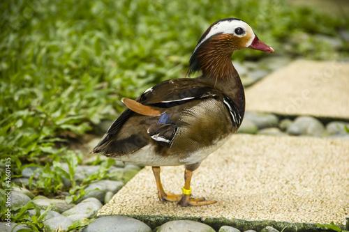 Mandarin duck standing Poster