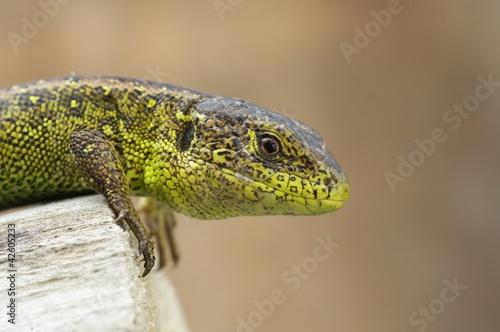 Photo Stands Chameleon Lacerta agilis