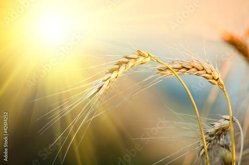 Obraz na płótnie field of yellow wheat and cloud in the sky