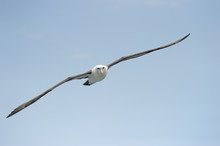 Shy Albatros Flying With Blue Sky.
