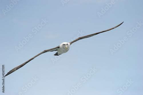 Fényképezés Shy Albatros flying with blue sky.