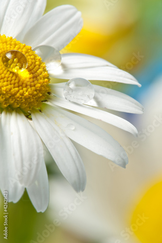 Foto op Canvas Madeliefjes daisy with dew drops