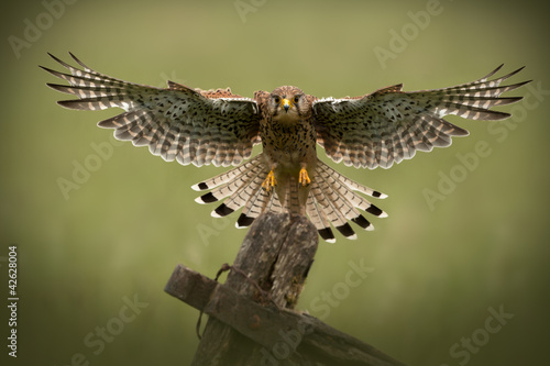 Female Common Kestrel in flight Canvas Print