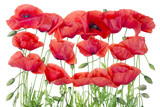 Red  poppies border