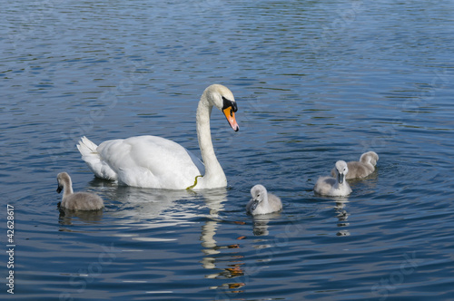 Poster Cygne Parent swan with offspring
