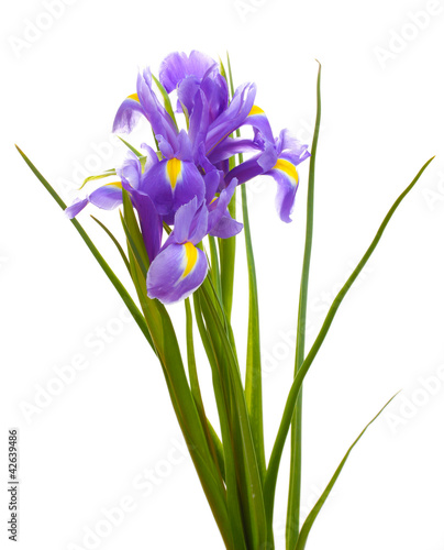 Spoed Foto op Canvas Iris Beautiful bright irises isolated on white