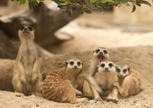 Portrait Group Of Meerkat
