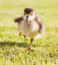 Duckling Running Through Grass Park