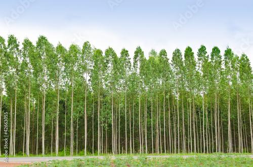 Fotografia, Obraz  Eucalyptus forest in Thailand
