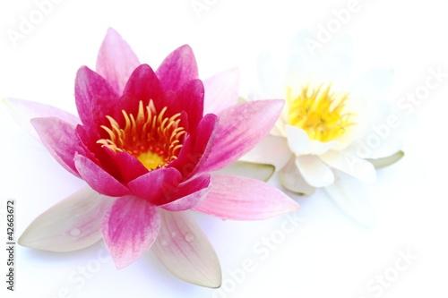Foto op Canvas Lotusbloem Seerosen auf weissem Untergrund