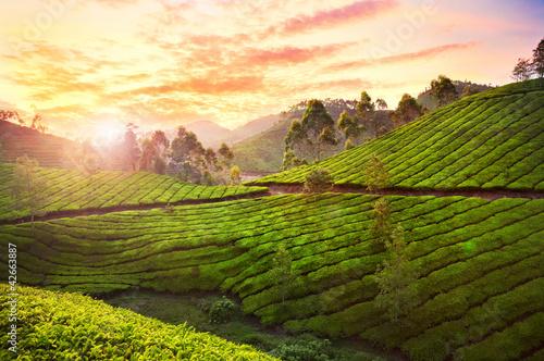 Photo  Tea plantation in Munnar