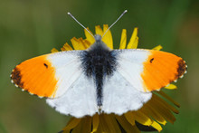 Orange Tip Butterfly Male