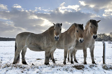 3 Fjord Horses In A Snowy Land...