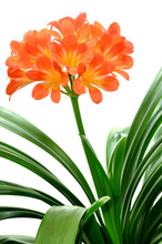 Orange Clivia Miniata Isolated...