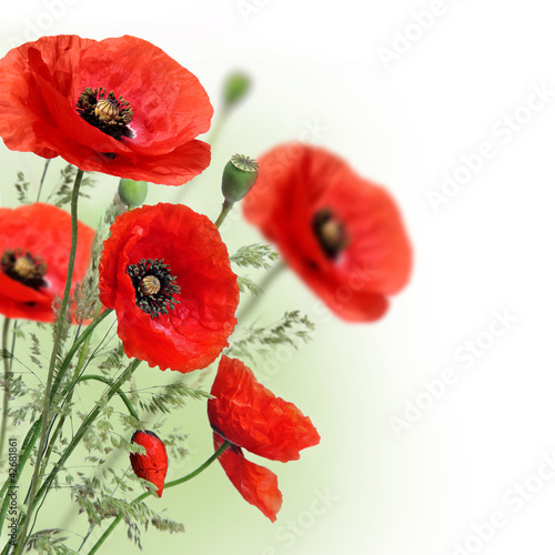 Poppies flowers border